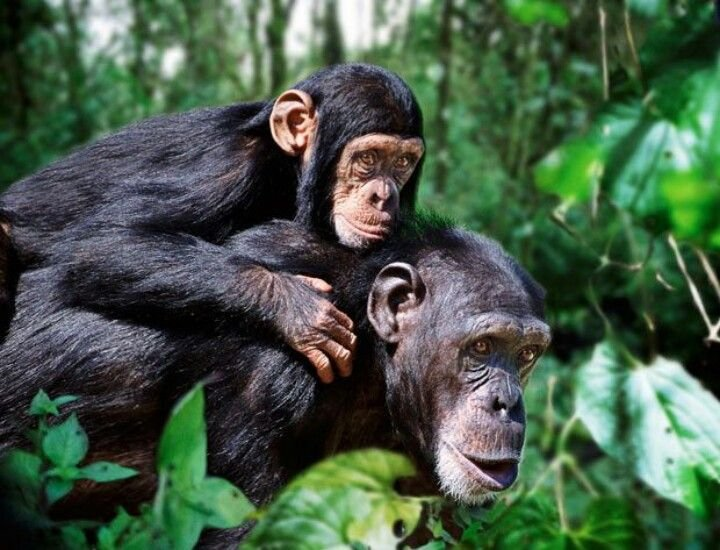 Image result for amor madre chimpance