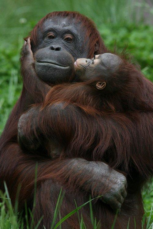 Image result for love mom chimp