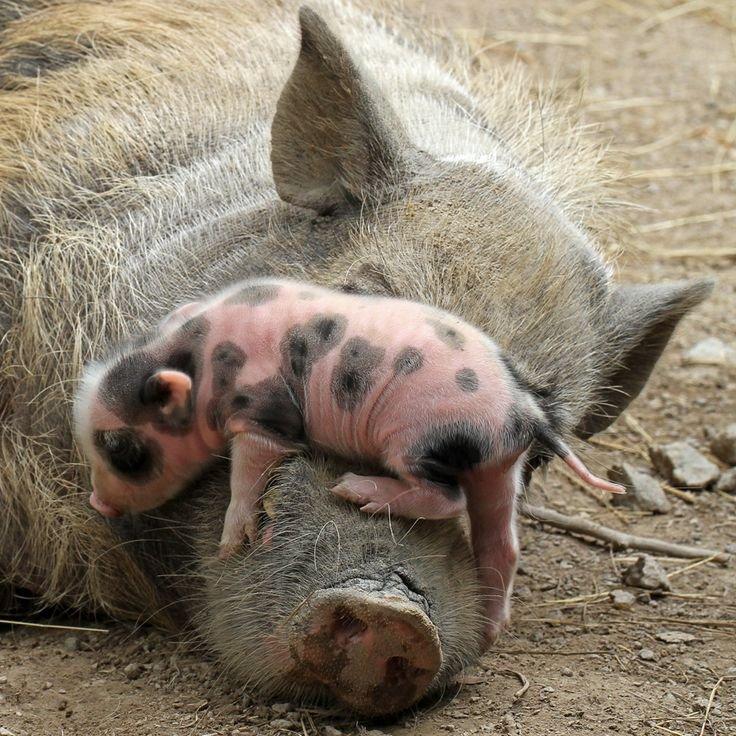 Image result for love mom piggy