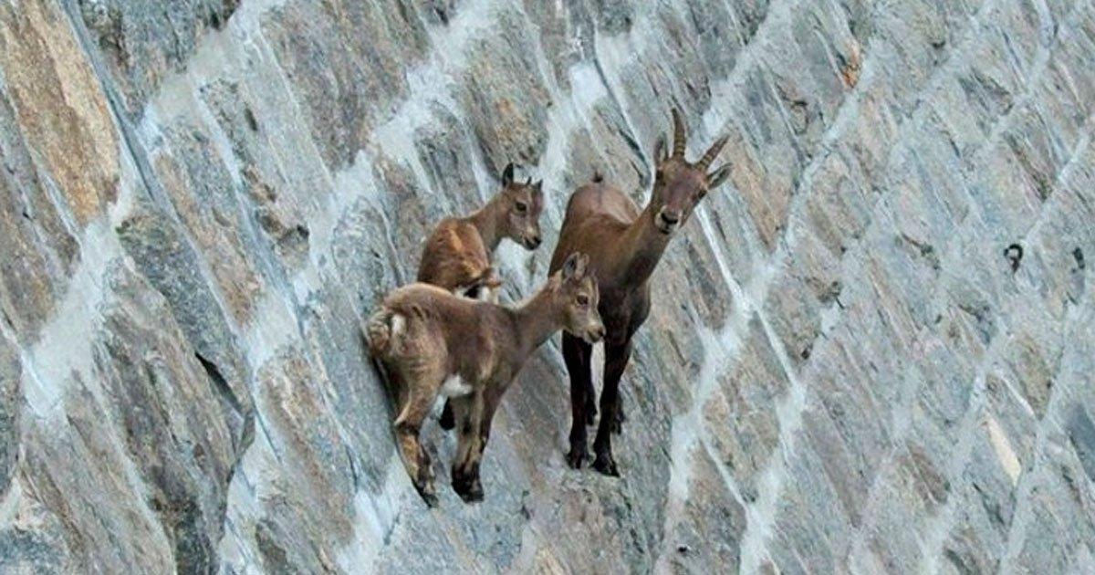3 219.jpg?resize=1200,630 - 20+ Fotos sorprendentes que muestran que las cabras pueden escalar cualquier cosa
