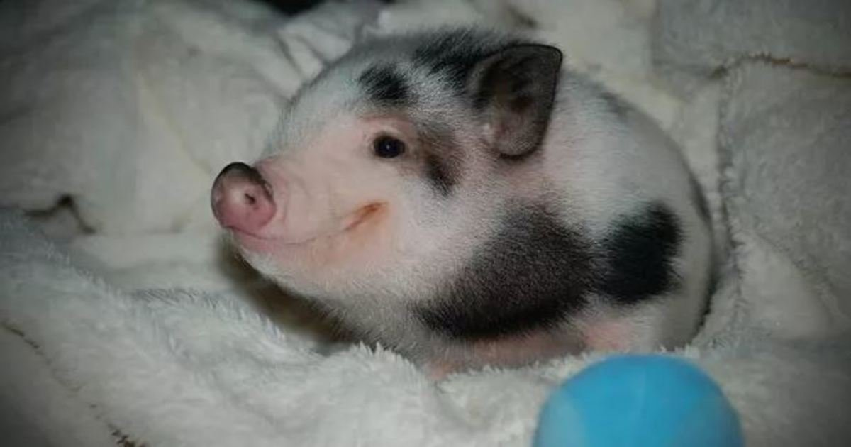 3 60.jpg?resize=1200,630 - 31 Super Cute Pigs That Will Melt Your Heart