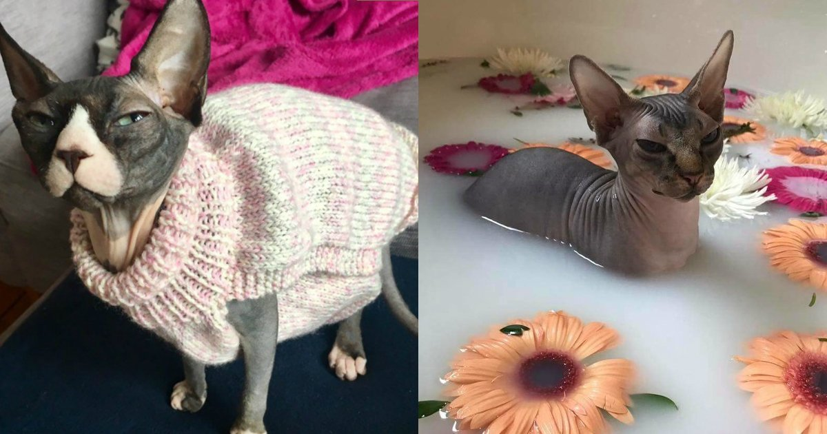3 97.jpg?resize=1200,630 - 30 Reasons Why Sphynx Cats Are Not Just Cool, They're Super-Cool