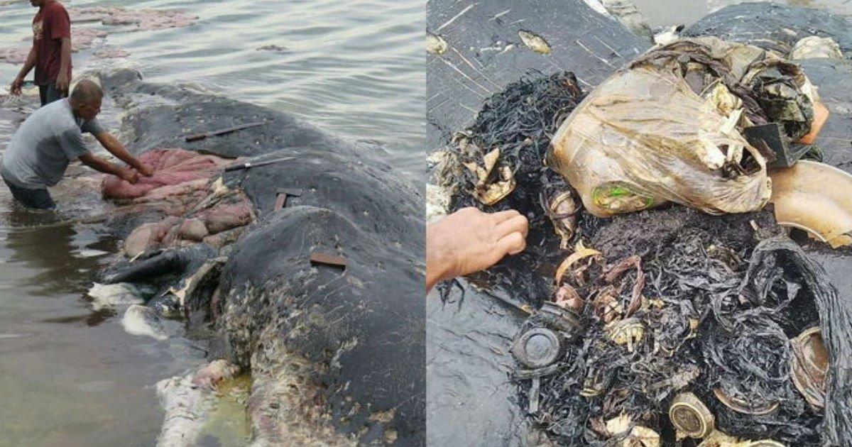 4 243.jpg?resize=300,169 - お腹の中が「ゴミだらけ」のまま、悲惨に人生の終わりを迎えた「巨大マッコウクジラ」