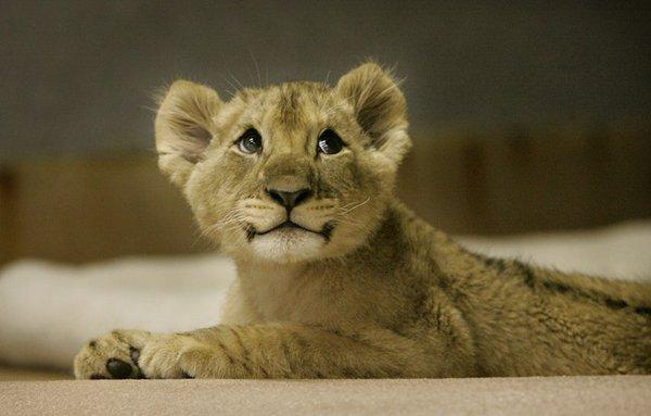 bebe_lion