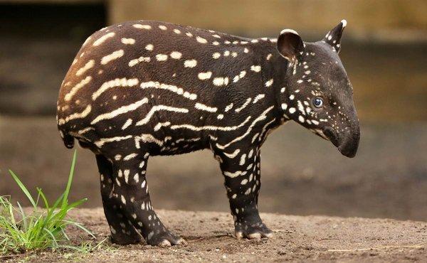 bebe_tapir