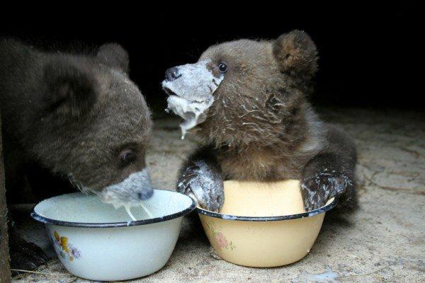 50 des bebes animaux les plus mignons de lhistoire de la mignoncite ours 600x400.jpg?resize=1200,630 - 50 des bébés animaux les plus mignons de l'histoire de la mignoncité