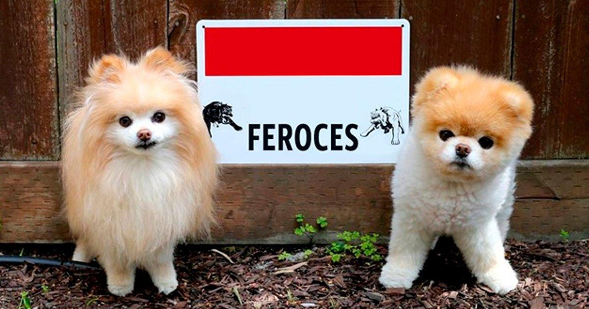 6 19.jpg?resize=1200,630 - 13 Perros que no son para nada guardianes feroces