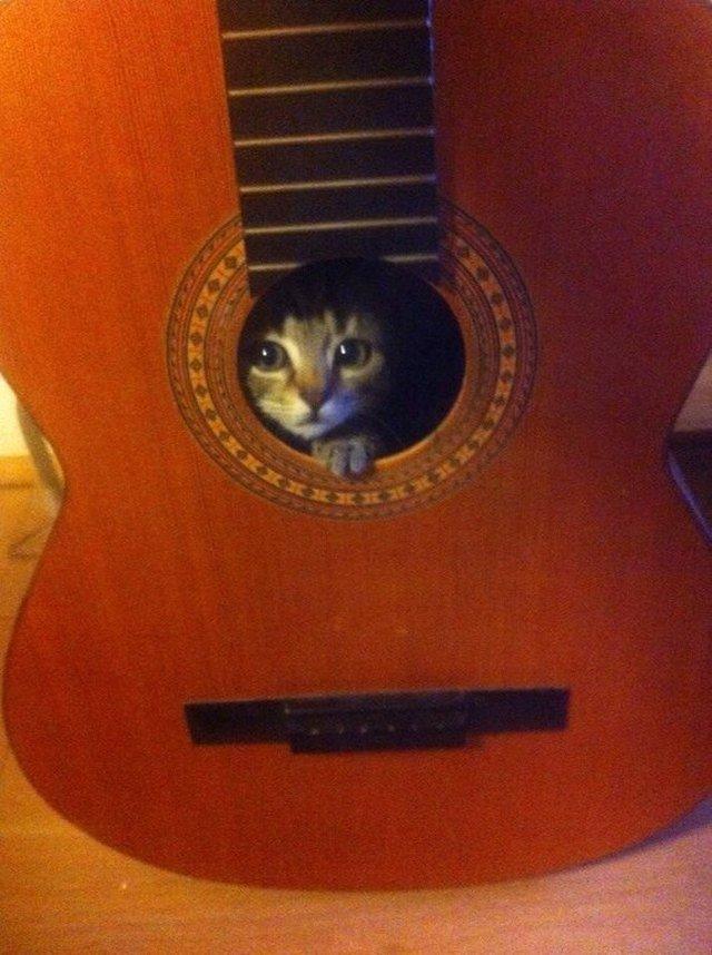 Kitten hiding inside a guitar.