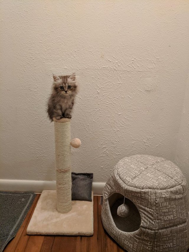 Kitten sitting on top of a scratching post