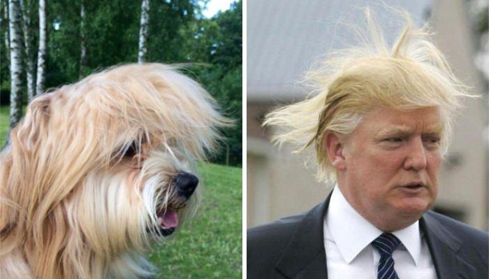 This Dog Looks Like Donald Trump