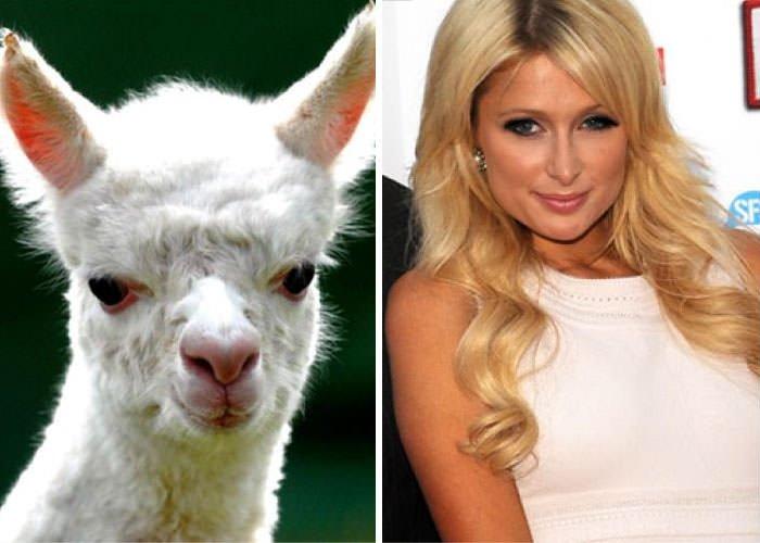 Alpaca Looks Like Paris Hilton