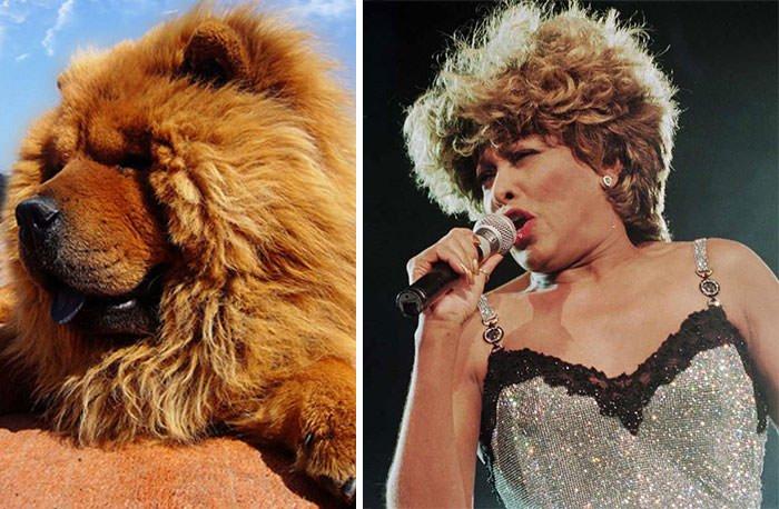 Chow Chow Dog Looks Like Tina Turner