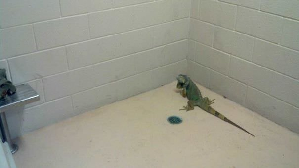 My Iguana Ran Away Out The Back Door. The Police Dept Found Him. I Had To Pick Up My Iguana From Jail