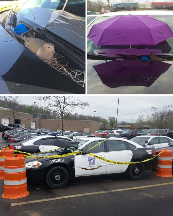 This Dove Getting Parma Police Protection After Laying Her 2 Eggs In A Cruiser