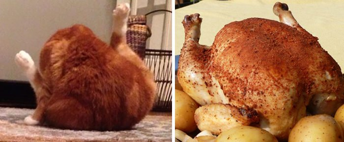 This Cat Looks Like Chicken