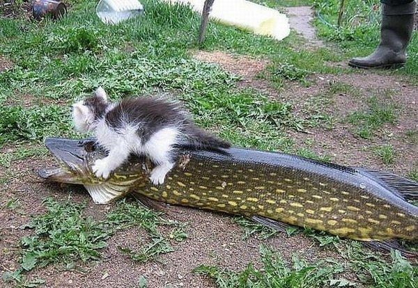 chaton poisson