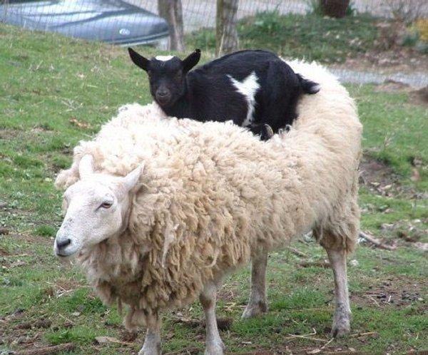 chevre sur mouton