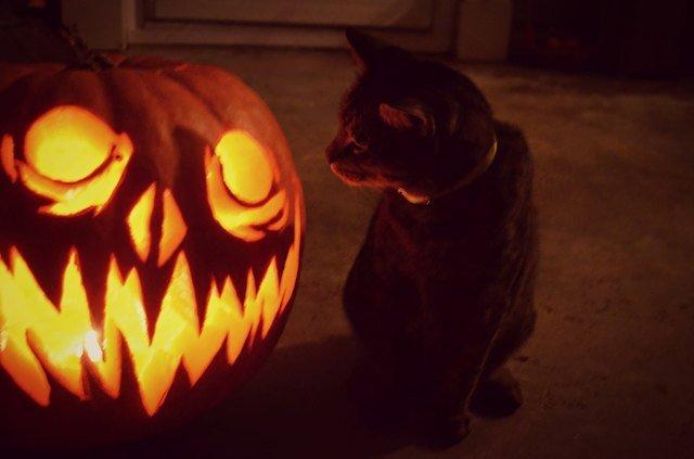 Cat looking at scary jackolantern