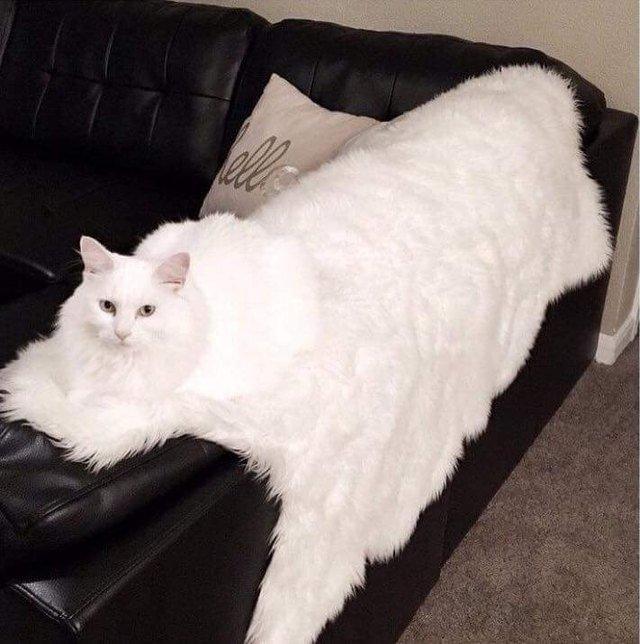 White cat on white throw.