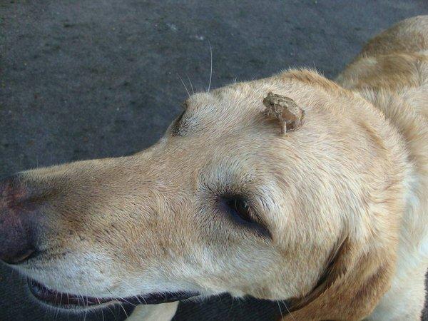 grenouille chien