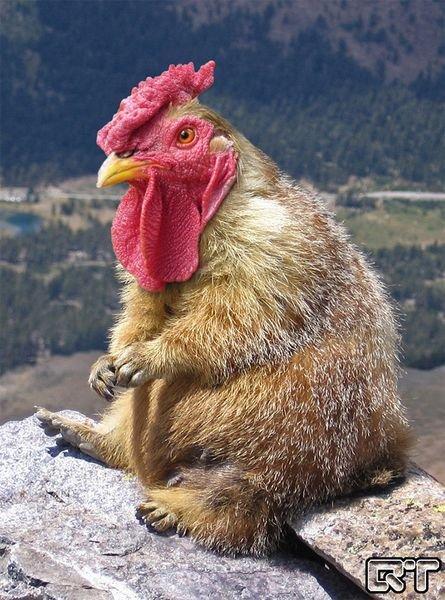 marmotte poule_resultat