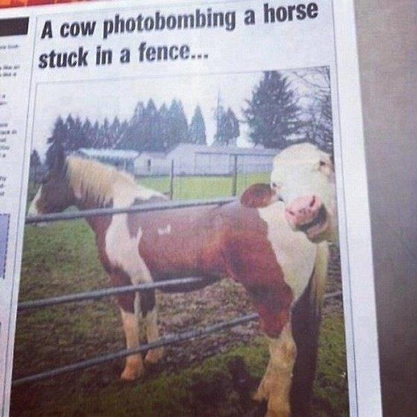 vache cheval