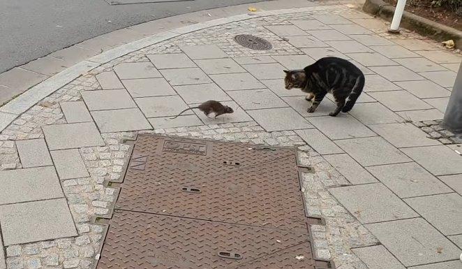 capture decran 2018 11 08 a 11 03 37.png?resize=1200,630 - [Vidéo] Ce chat a eu droit à une belle leçon de la part d'un gros rat.