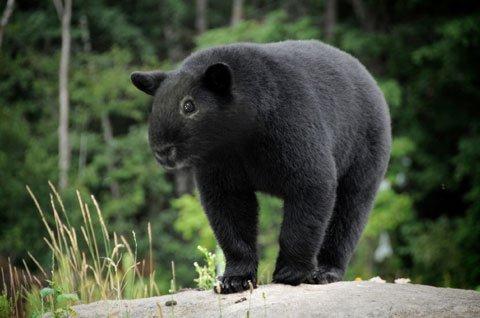 08-Guinea-Bear.jpg