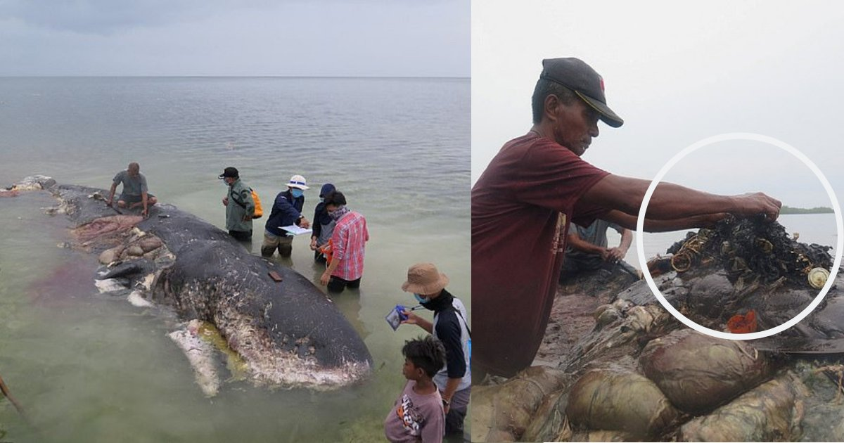 d8.png?resize=412,232 - A Dead Male Sperm Whale Washed Off At Indonesia's Shore and Was Found Having 13LBS of Plastic in Its Stomach