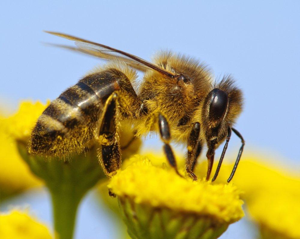 depositphotos 20581309 m 2015.jpg?resize=1200,630 - Les abeilles sont désormais sur la liste des espèces en voie de disparition.