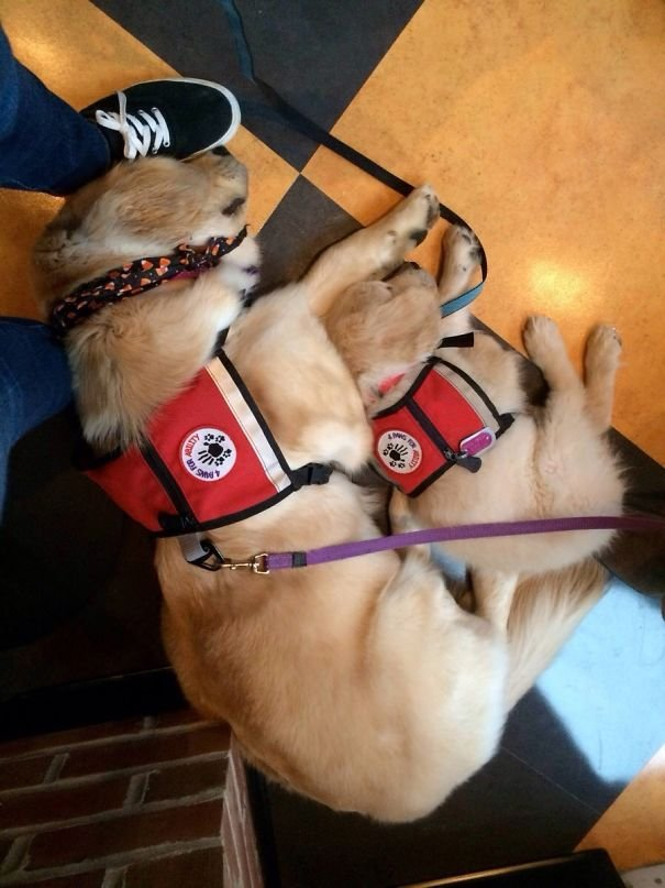 Two Service Dogs In Training. Work Is Hard