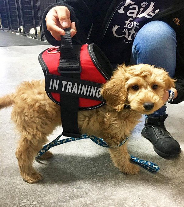 Snoopy Is A Service Puppy In Training And Will Grow Into His Vest One Day!