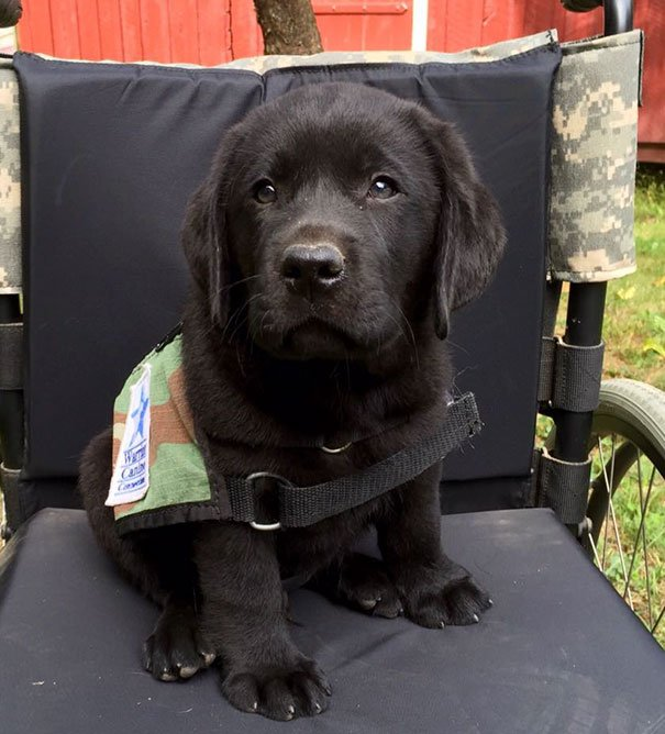 Jack, Eager To Begin Working With His Veterans, On His First Day Suiting Up In His Service Dog Vest