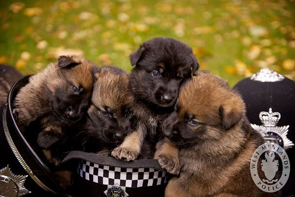 Police Dog Puppies