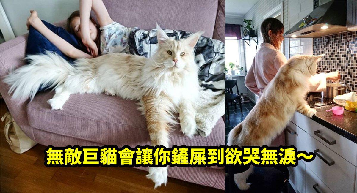 e5b7a8e8b293.jpg?resize=1200,630 - 超巨!一種「你買得起但養不起的貓」!貓奴們不怕被吃垮再來收啊~