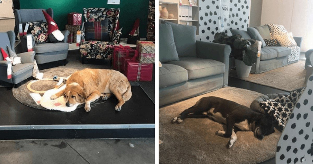 featured image 44.jpg?resize=412,232 - Italian IKEA Outlet Opens Doors For Stray Dogs To Keep Them Warm During Winter Months
