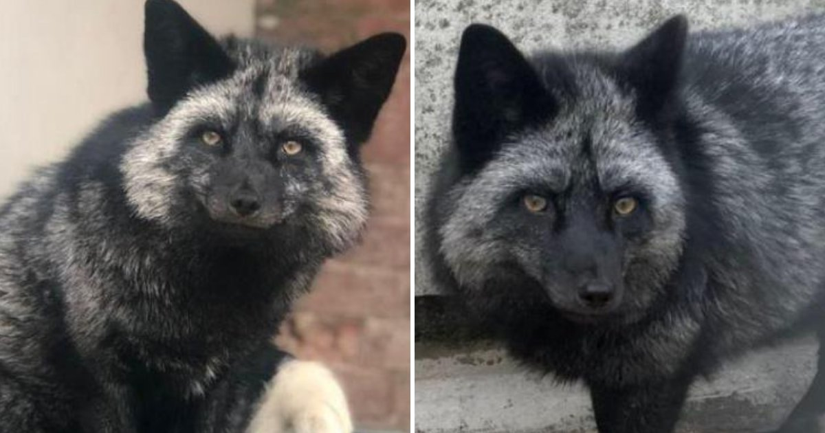 fox4.png?resize=412,232 - Beautiful RARE Silver Fox Spotted In A Garden And Marks The First Sighting In 25 Years!
