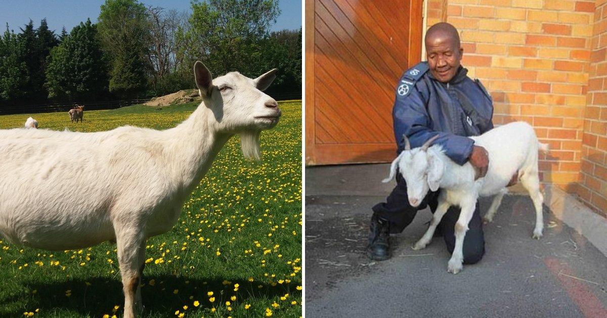 mcube5.png?resize=412,232 - Un homme est pris au lit avec une chèvre enceinte et est reconnu coupable de zoophilie