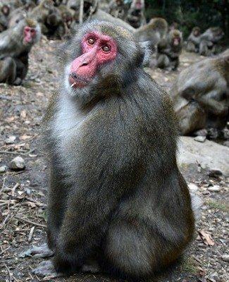 「サル ストライキ」の画像検索結果