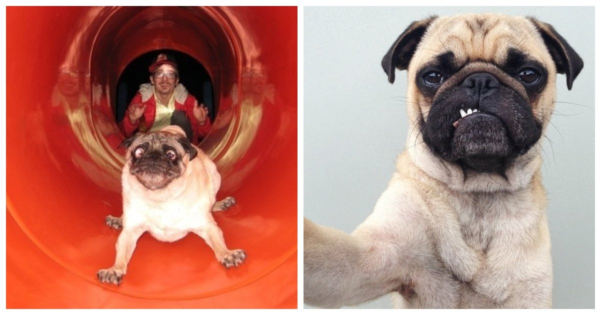 pugs1.jpg?resize=1200,630 - 25+ Adorable Photos Proving That Pugs Can Conquer Anyone's Heart