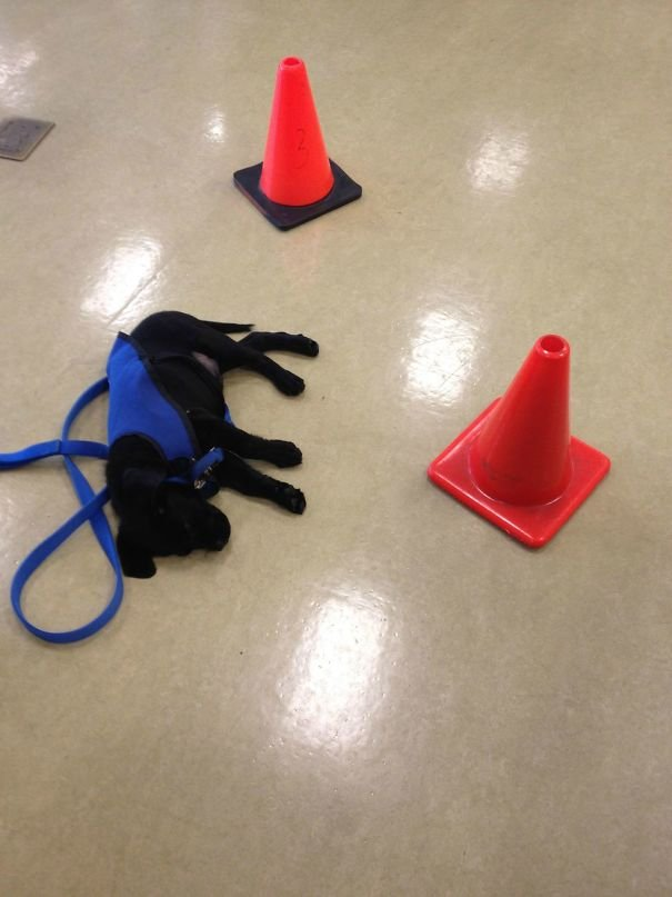 Service Puppy-In-Training Needed A Nap In My Gym. We Put Cones Around Her So She Wouldn