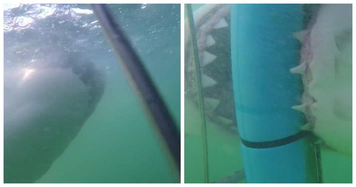 shark.jpg?resize=300,169 - Un grand requin blanc tente de mordre des plongeurs en cage à Gansbaai en Afrique du Sud