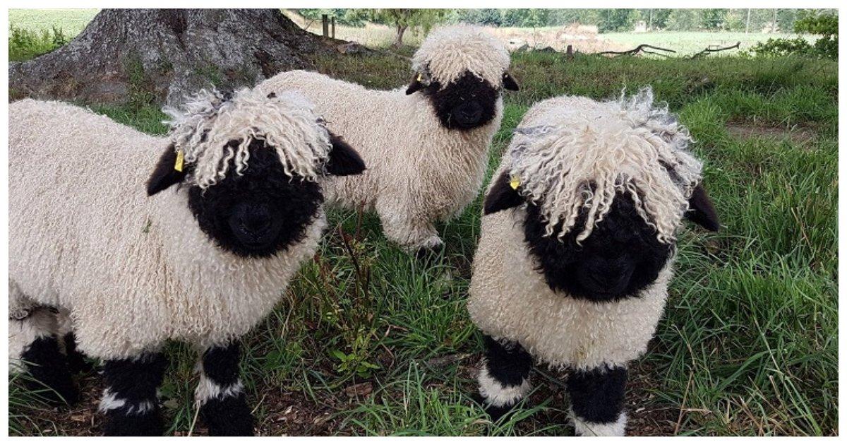 sheep 1.jpg?resize=412,232 - Le mouton noir du Valais a été surnommé le «plus mignon du monde» et quand on le voit, on comprend pourquoi