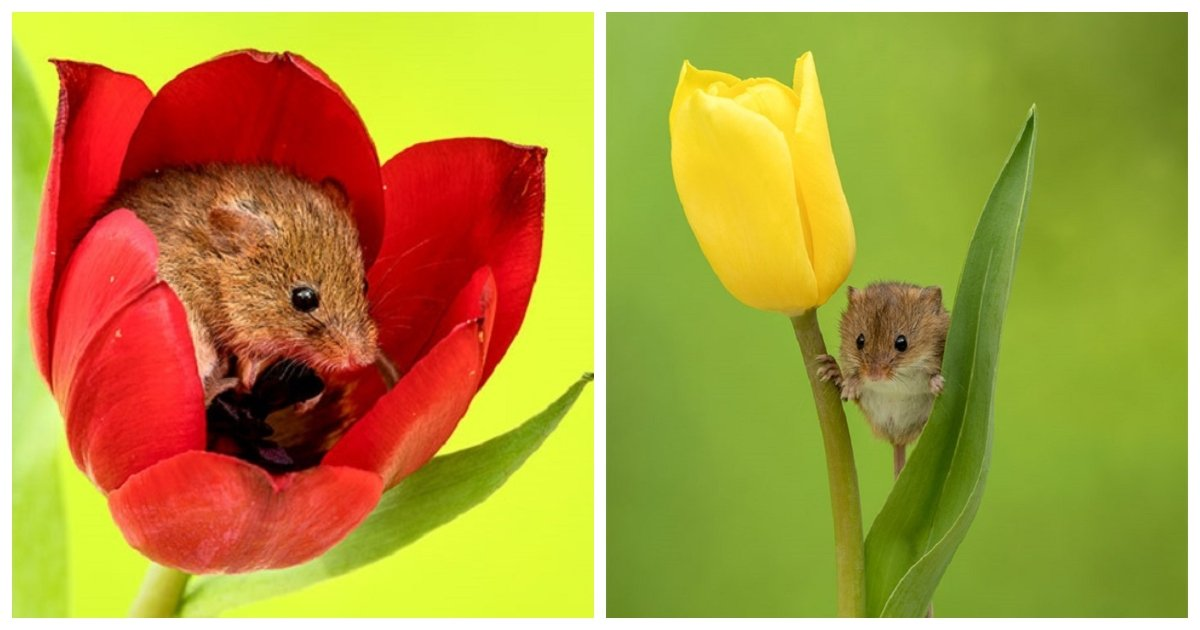 tulips.jpg?resize=1200,630 - These Pictures Of Mice On Tulips Are The Perfect Way To Melt All The Stress Away