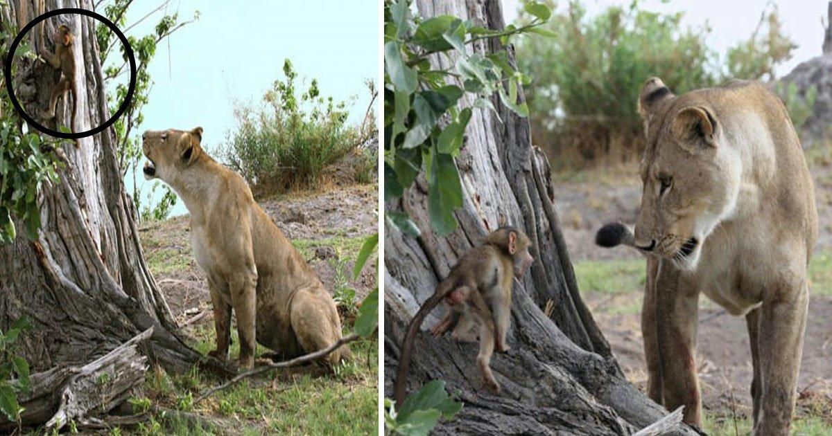 untitled 1 3.jpg?resize=412,232 - Un bébé babouin tombe entre les mains d'une lionne ; ce que la lionne a fait ensuite va vous surprendre