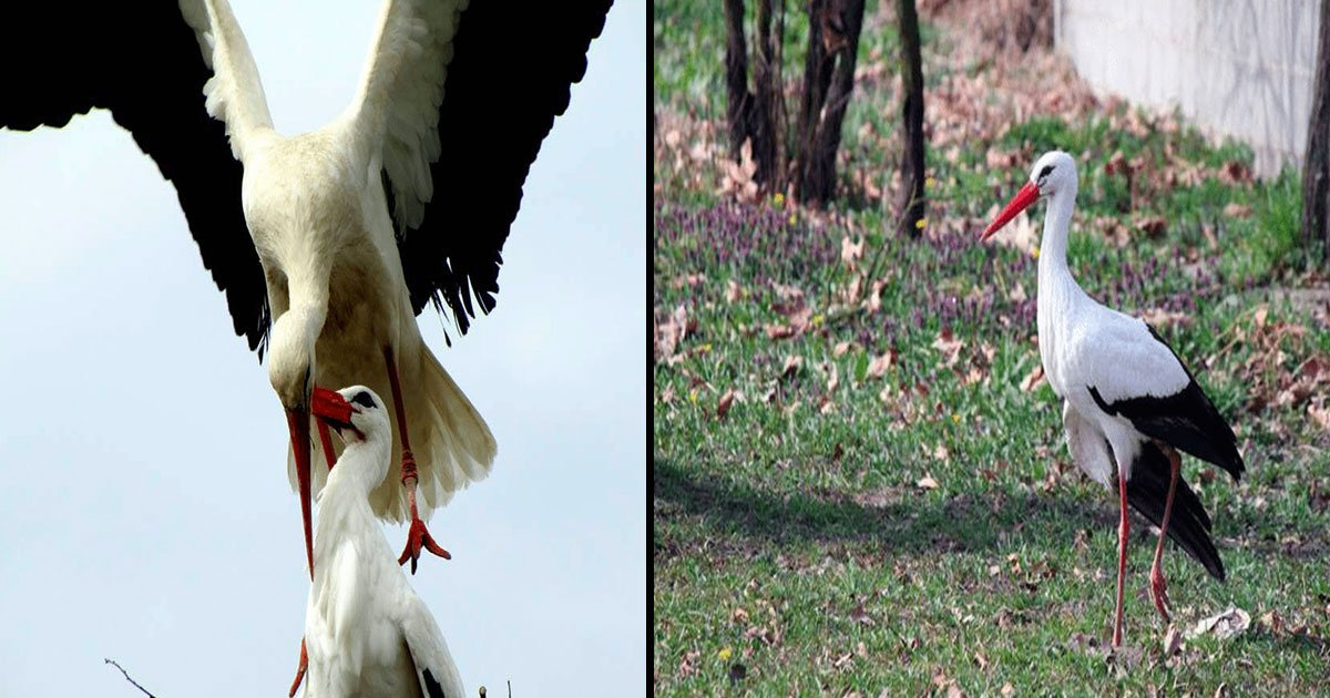 untitled 1 42.jpg?resize=300,169 - This Stork Flies Thousands Of Miles To Spend Quality Time With His Soulmate