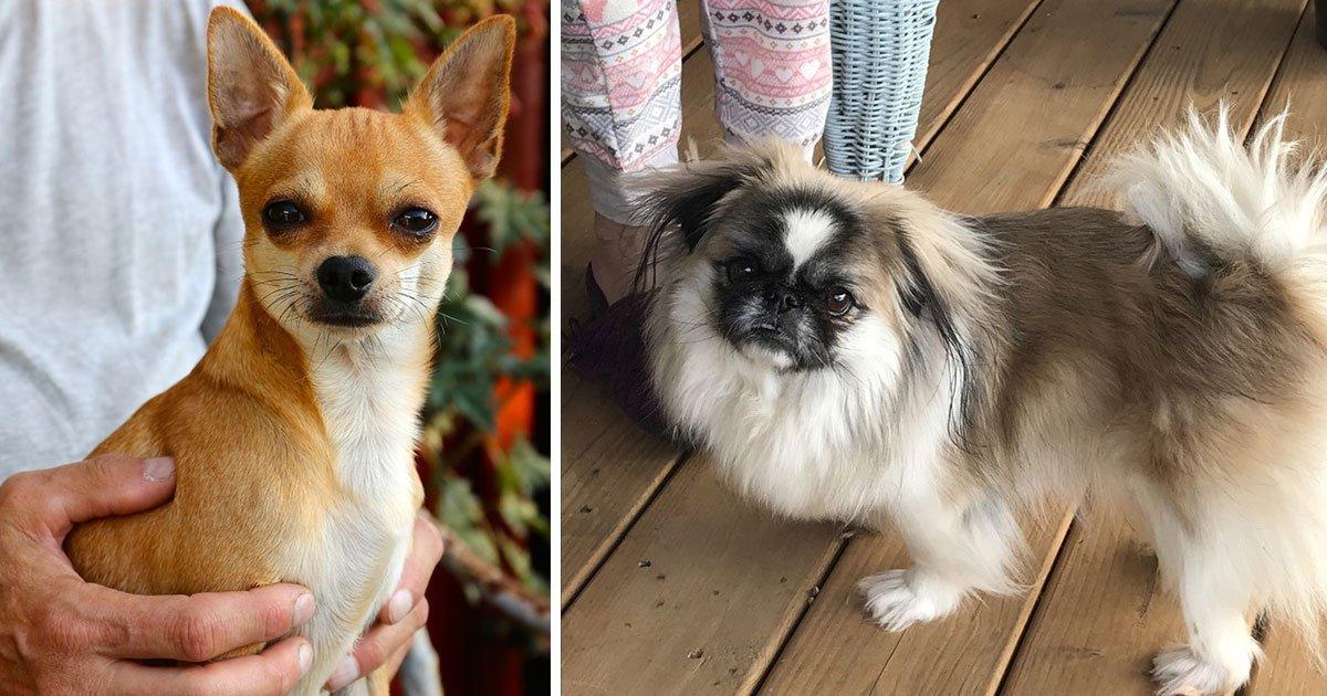 untitled 1 85.jpg?resize=300,169 - 10 races de chiens trop mignonnes qui représentent le pire choix pour des familles avec enfants