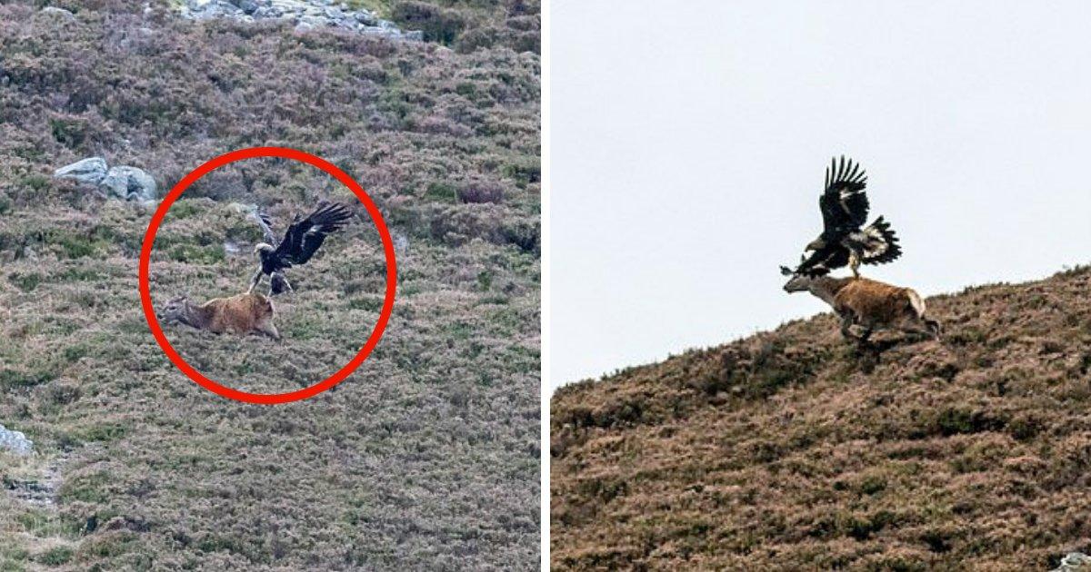 untitled design 59.png?resize=412,232 - Oh mon cerf! Un photographe capture un rare moment d'un aigle royal plongeant sur un chevreuil