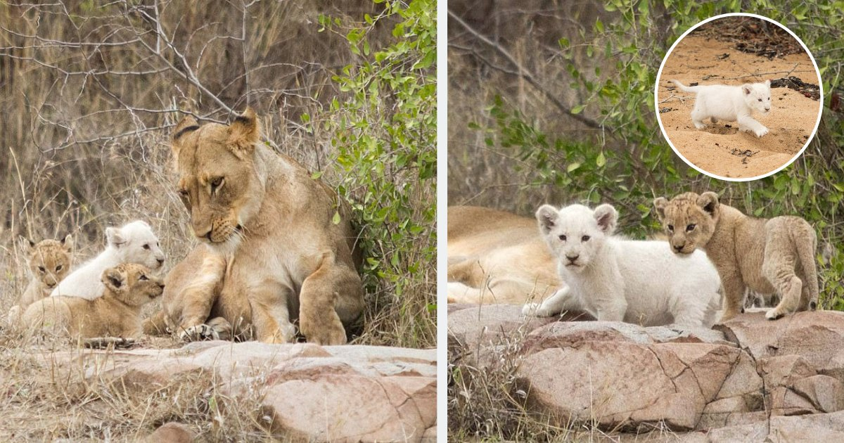 y3 14.png?resize=412,232 - Here are a Few Pictures of the Rare White Cub This Photographer Noticed in the Wild