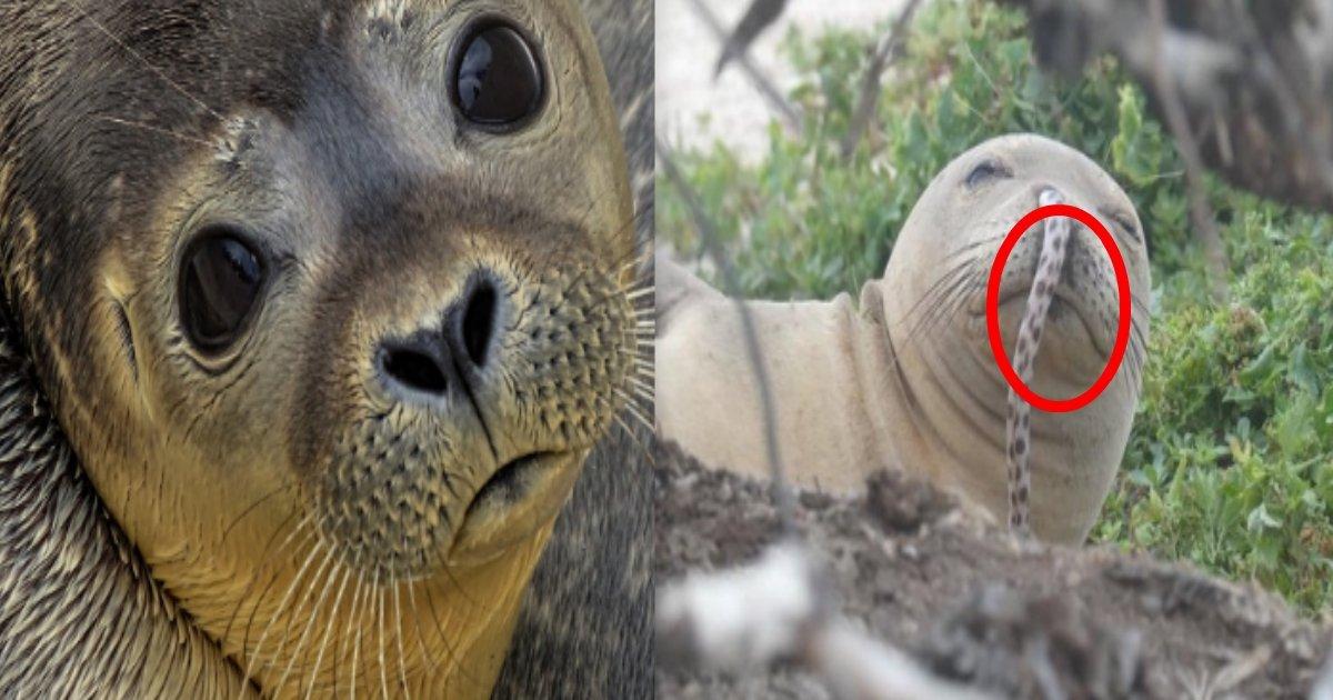181211 301 1.jpg?resize=1200,630 - 有海鰻鑽進海豹的鼻孔啦!!原來是夏威夷海豹新流行?海豹界常有的事?
